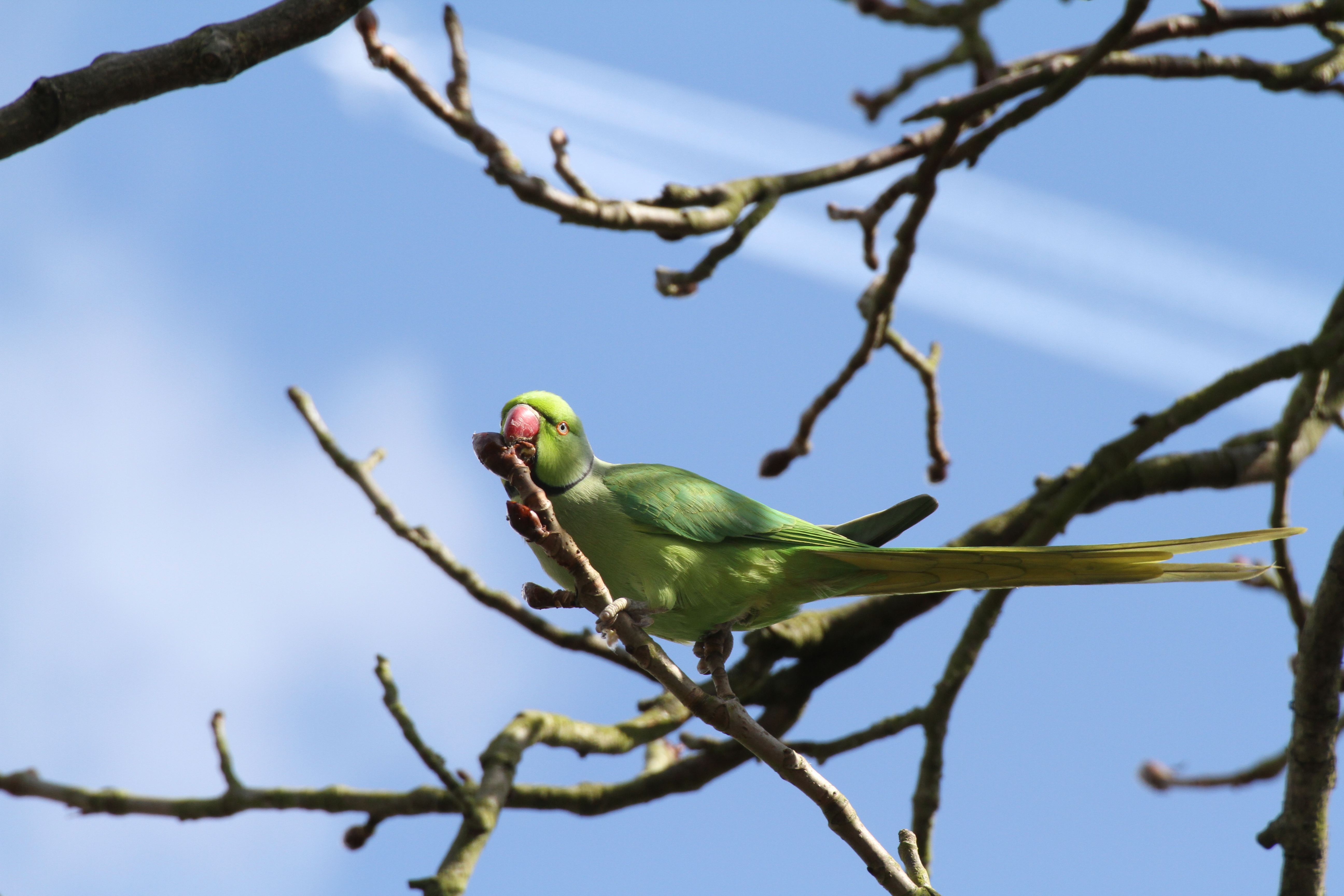 Ring-necked Parakeet © Christian Moss