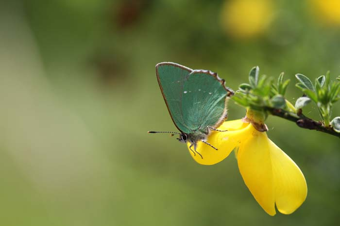 """Green Hairstreak captured on Wanstead Flats"" © Christian Moss"