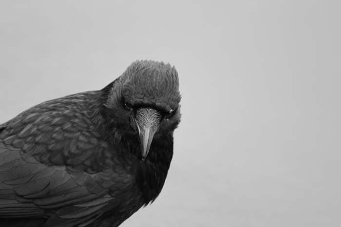 """Black & White crow captured next to Heronry pond"" © Christian Moss"