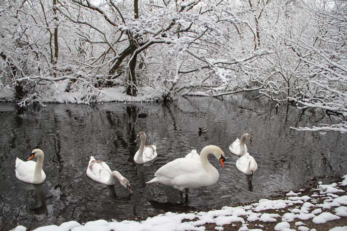 """White Wanstead - Swans of Perch pond in the snow"" © Christian Moss"