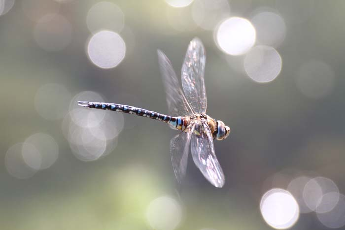 """Male Migrant Hawker (dragonfly) captured patrolling Heronry pond"" © Christian Moss"
