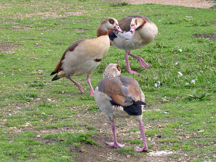 Egyptian Geese © Richard Arnopp
