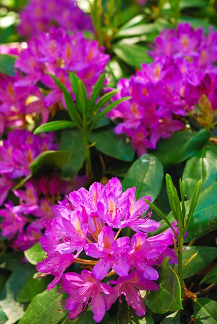 Rhododendron Ponticum © Geoff Wilkinson