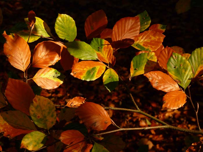KH - Beech leaves in Autumn (WP) P1140779
