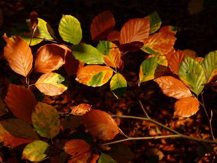 KH - Beech leaves in Autumn (WP) P1140779