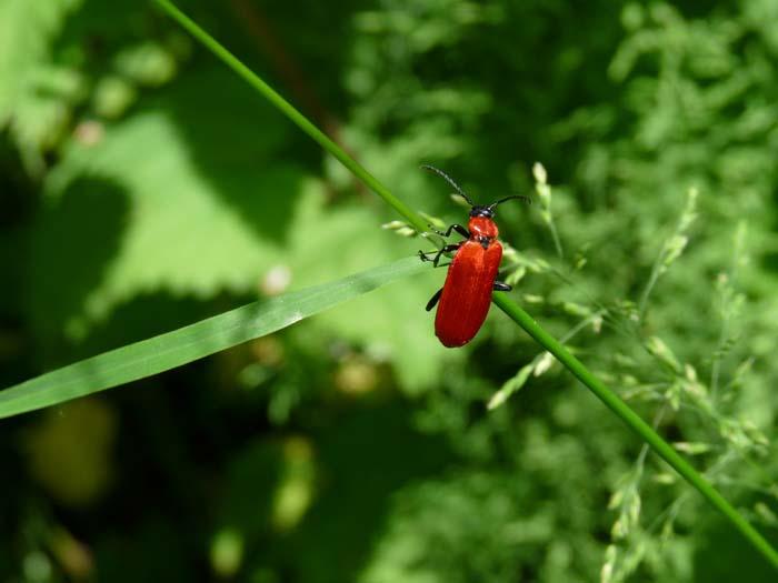 KH - Black-headed Cardinal Beetle (WP) P1210836