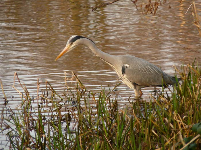 KH - Grey Heron (PP WP) P1100277