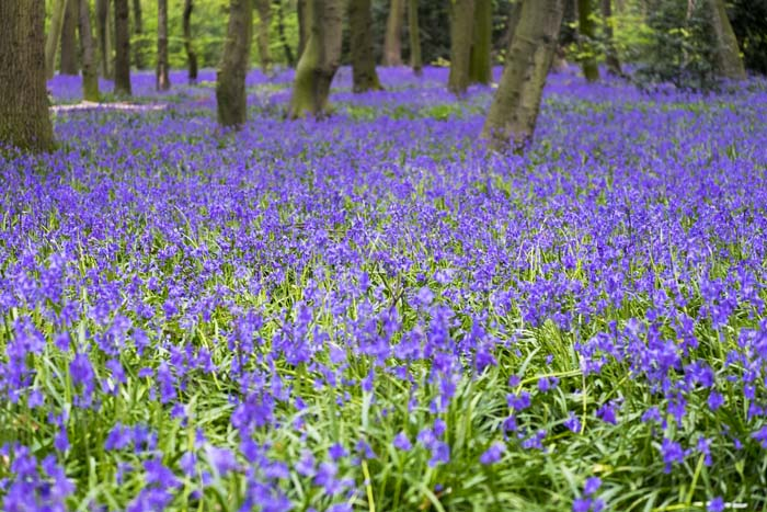 Bluebells in Chalet Wood © Stuart Moore