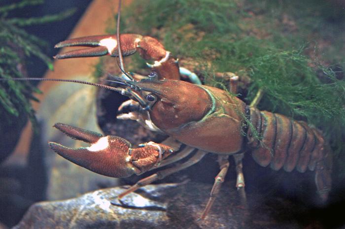 Signal Crayfish (Wikipedia Commons)