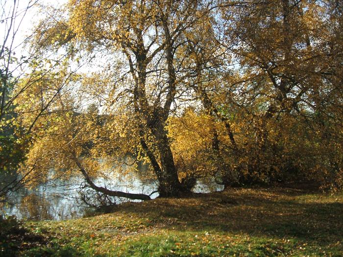 """Autumnal birch"" © Tricia Moxey"